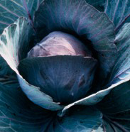 Speciality Cabbage